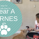 How To Get My Dog To Wear A Harness Dog Training